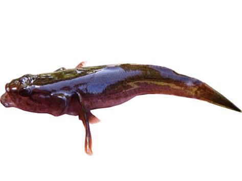 photo d'un Eleotris fusca