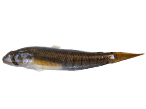 photo d'un Stenogobius genivittatus