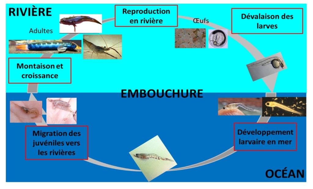 Schéma du cycle de vie amphihaline amphirome